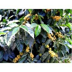 果香巧克力風味套餐-巴西 小師傅莊園/瓜地馬拉 聖費麗莎 帕奇日曬
