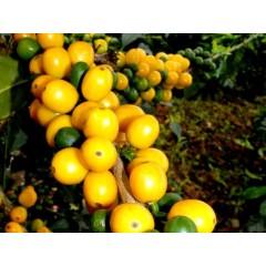 尼加拉瓜 聖荷西莊園 黃帕卡馬拉蜜處理