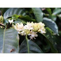 巴布亞新幾內亞 CO2低咖啡因 野河小農低咖啡因批次