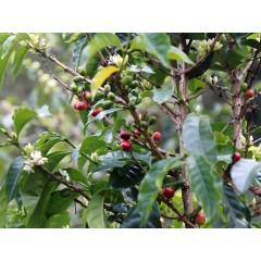 尼加拉瓜 小農競標3102E批次 洛斯阿圖斯莊園 紅卡太一 水洗批次