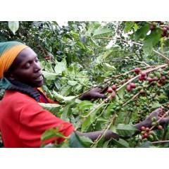 肯亞 尼耶利產區AB 2017批次歐舍直接咖啡