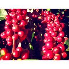 尼加拉瓜 隱密莊園 紅色卡杜拉 Lot 2212