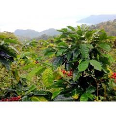 富貴組-薩爾瓦多卡夏莊園/瓜地馬拉拉洛瑪莊園