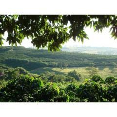 巴西 2016國家競賽優勝 芒果樹莊園日曬處理法