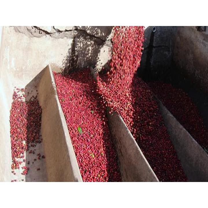 1磅特價600元-尼加拉瓜 聖荷西莊園 PN處理 爪哇長顆種