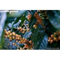 尼加拉瓜 聖荷西莊園 黃帕卡馬拉日曬處理