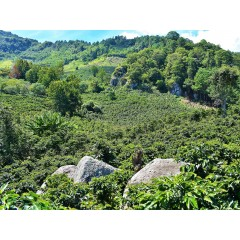 宏都拉斯 拉帕斯區小農 果茲匹耶思莊園 水洗卡太一 批次238