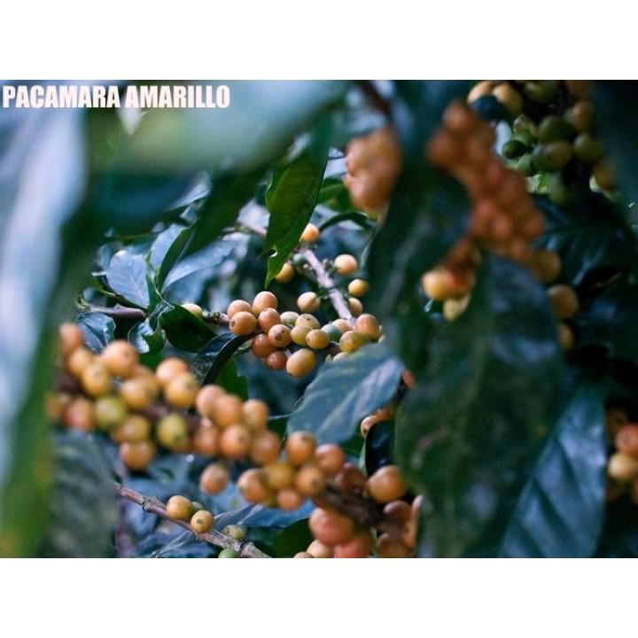 【熟豆1/4磅】新豆推薦-尼加拉瓜 檸檬樹莊園 黃帕卡馬拉 水洗處理 2020新批次