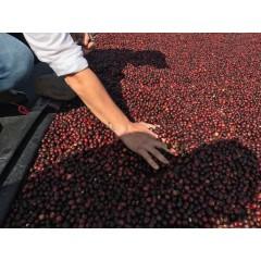 尼加拉瓜 隱密莊園 天然低咖啡因尖頭波旁種 日曬處理 批次2013