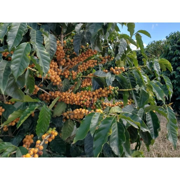 甘醇堅果套餐-宏都拉斯 拉給布拉達莊園/巴西 進步莊園