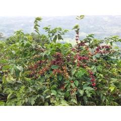 哥倫比亞 薇拉區 小樹莊園 水洗瑰夏種 批次103