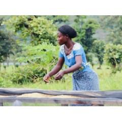 剛果 奇伏湖南部 麥提納合作社 波旁種 蜜處理