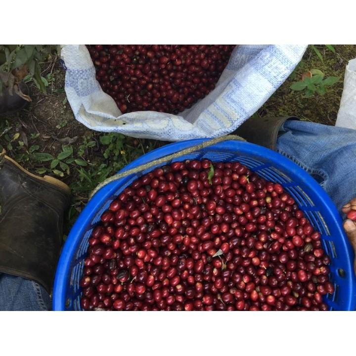 瓜地馬拉 新希望莊園 水洗卡杜拉種 歐舍直接關係批次