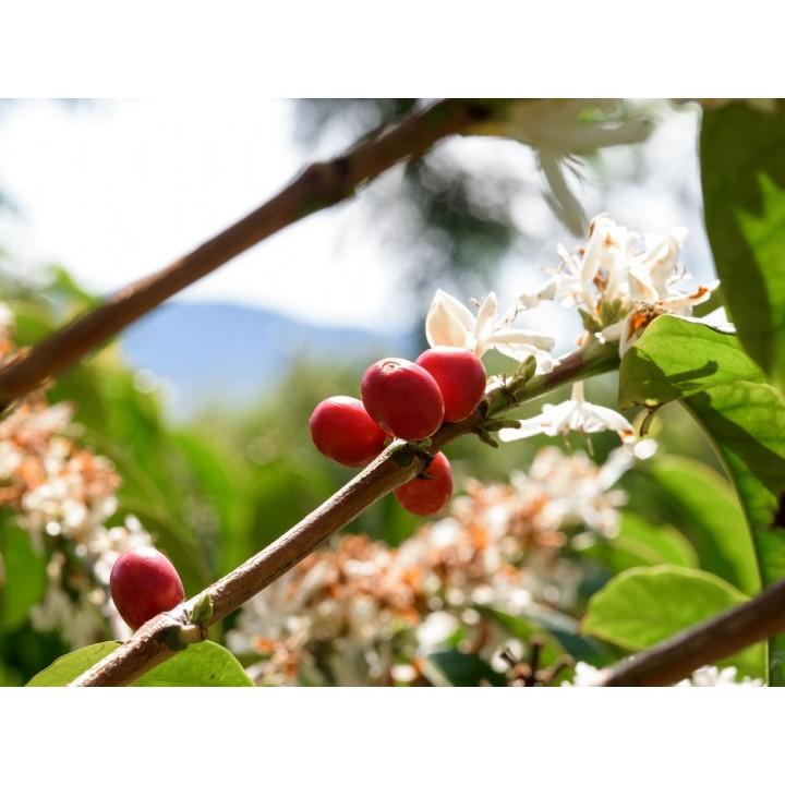 【熟豆1/4磅】【Expert 推薦】巴拿馬 翡翠莊園 SL28品種 日曬獨特處理 批次33N