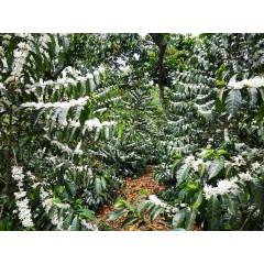 瓜地馬拉冠軍莊園 卡里布斯山莊園 水洗卡杜拉種 1453批次