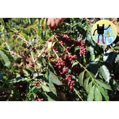 【咖啡熟豆】瓜地馬拉 瓜達隆莊園 K72 帕奇種 拉洛瑪段 批次15