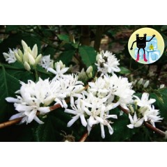 【咖啡熟豆】衣索匹亞 耶加雪菲 給塔秋小農 日曬 批次207