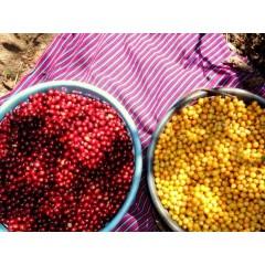 瓜地馬拉 阿卡提蘭夠山谷 聖費麗莎莊園 波旁種(橘蜜處理法)