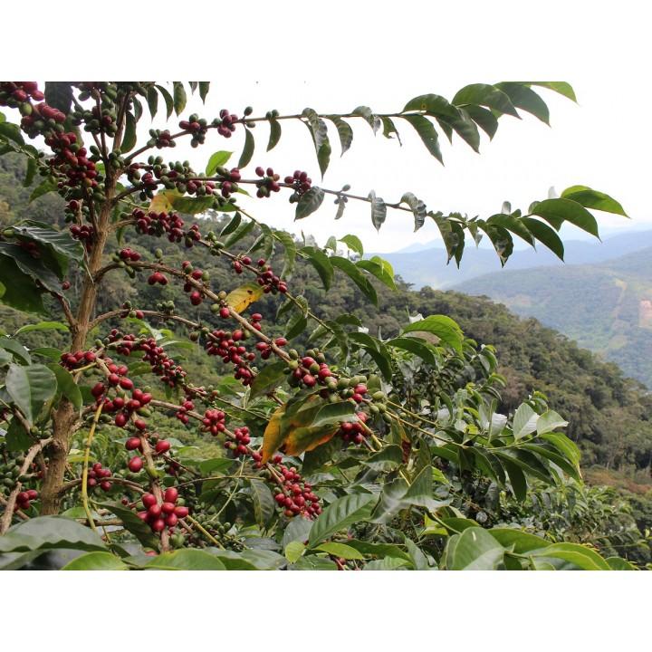 祕魯 普諾區 坦波帕塔合作社 鐵皮卡種 水洗處理