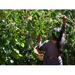 薩爾瓦多 2020卓越盃第13名 風鈴草莊園 瑰夏種 水洗厭氧發酵